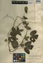 Dalechampia scandens L., Mexico, W. C. Steere 1349, F