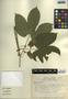 Dalechampia scandens L., Mexico, R. Torres C. 6141, F