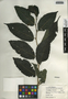 Chlorophora tinctoria (L.) Gaudich. ex Benth., Guatemala, E. Contreras 97, F