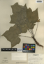 Dorstenia contrajerva L., Honduras, A. Molina R. 26246, F