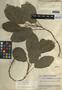 Dorstenia lindeniana Bureau, Guatemala, J. A. Steyermark 46070, F