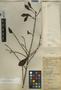 Ficus americana Aubl., Belize, W. A. Schipp 806, F