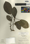 Ficus aurea Nutt., Guatemala, E. Contreras 10397, F