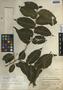 Maclura tinctoria subsp. tinctoria, Belize, P. H. Gentle 18, F
