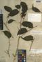 Maclura tinctoria subsp. tinctoria, Mexico, C. L. Lundell 947, F