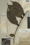 Trophis racemosa (L.) Urb., Belize, N. S. Stevenson 153, F