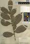 Trophis racemosa (L.) Urb., Belize, P. H. Gentle 1447, F