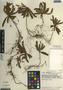 Biophytum dendroides (Kunth) DC., Ecuador, M. T. Madison 5023, F