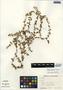 Bacopa monnieri (L.) Wettst., Belize, K. Cosentino 56, F