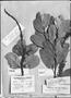 Field Museum photo negatives collection; Genève specimen of Roupala obtusata Klotzsch, BRAZIL, R. Spruce 1945, G-DC