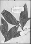 Field Museum photo negatives collection; Genève specimen of Tabernaemontana longifolia Benth., FRENCH GUIANA, Schomburgk, Type [status unknown], G-DC