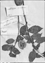 Field Museum photo negatives collection; Genève specimen of Bougainvillea glabra Choisy, BRAZIL, C. Gaudichaud-Beaupré 423, Type [status unknown], G-DC
