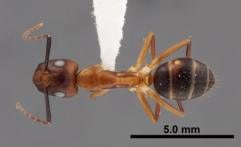 Image of Camponotus tortuganus