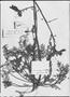 Argylia puberula image