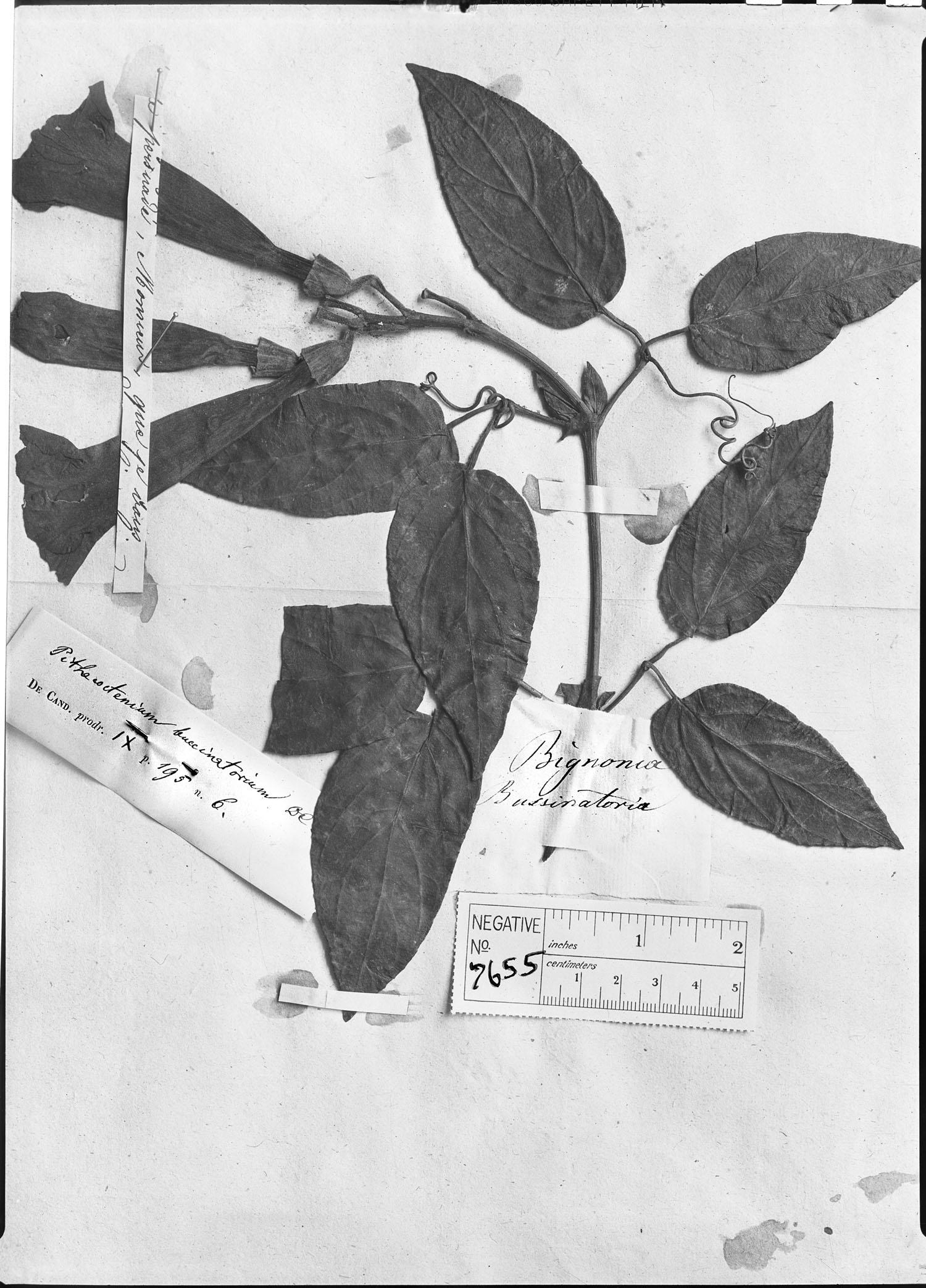 Amphilophium buccinatorium image