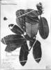 Couepia robusta image
