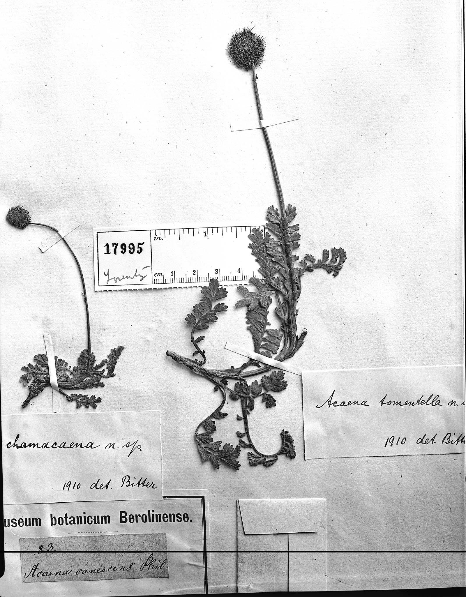 Acaena canescens image