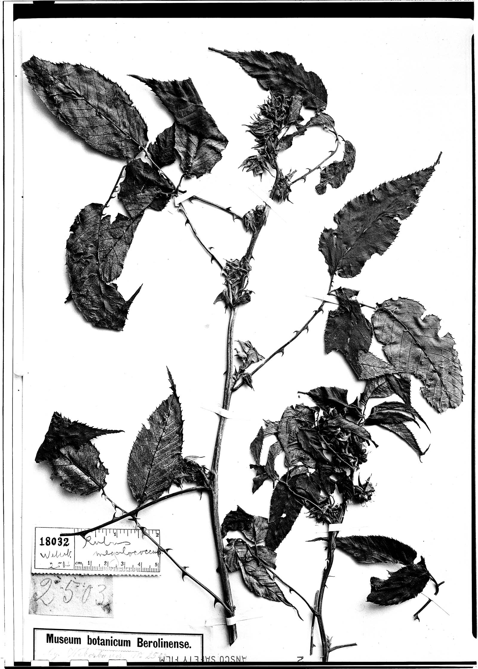 Rubus megalococcus image