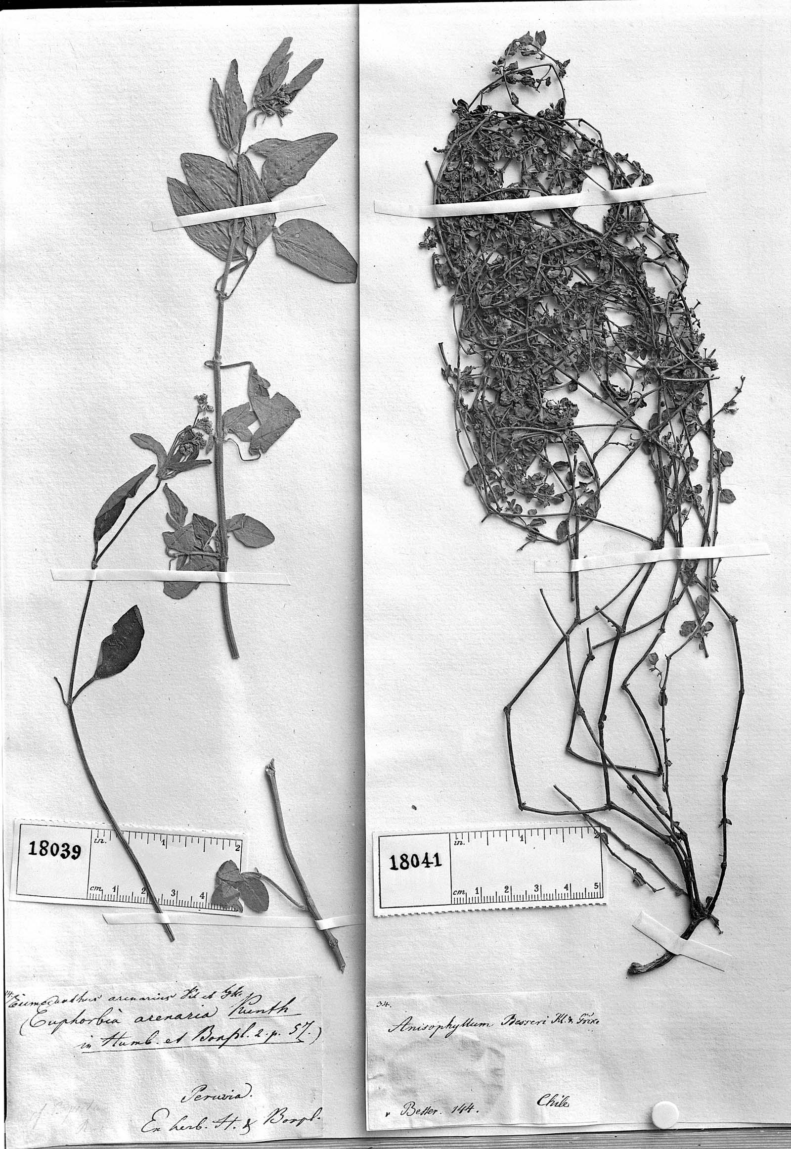 Euphorbia besseri image