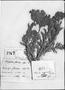 Heliophytum floridum image