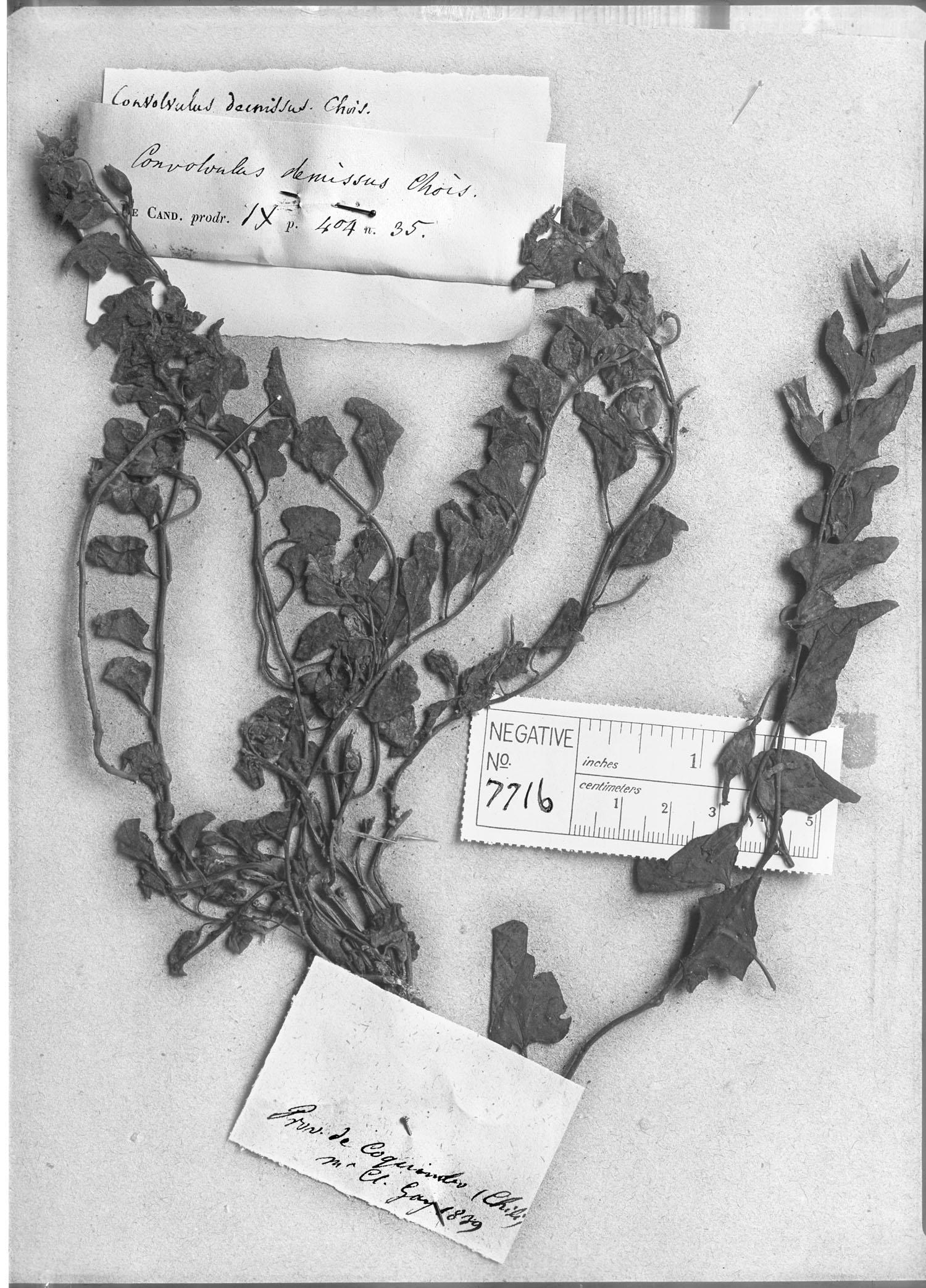 Convolvulus demissus image