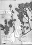 Phacelia brachyantha image