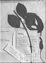 Field Museum photo negatives collection; Genève specimen of Mendoncia aspera var. rotundifolia Nees, PERU, E. F. Poeppig 2194, Type [status unknown], G