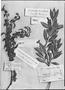 Field Museum photo negatives collection; Genève specimen of Jacobinia pubescens Ru?z ex Nees, PERU, J. Dombey, Type [status unknown], G