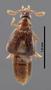 FMNHINS68995 Protopselaphus watrousi HT dorsal habitus cz15