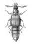 FMNHINS68995 Protopselaphus watrousi HT dorsal habitus illustration