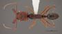FMNHINS78502 d Odontomachus ruginodis