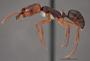 FMNHINS78502 p Odontomachus ruginodis