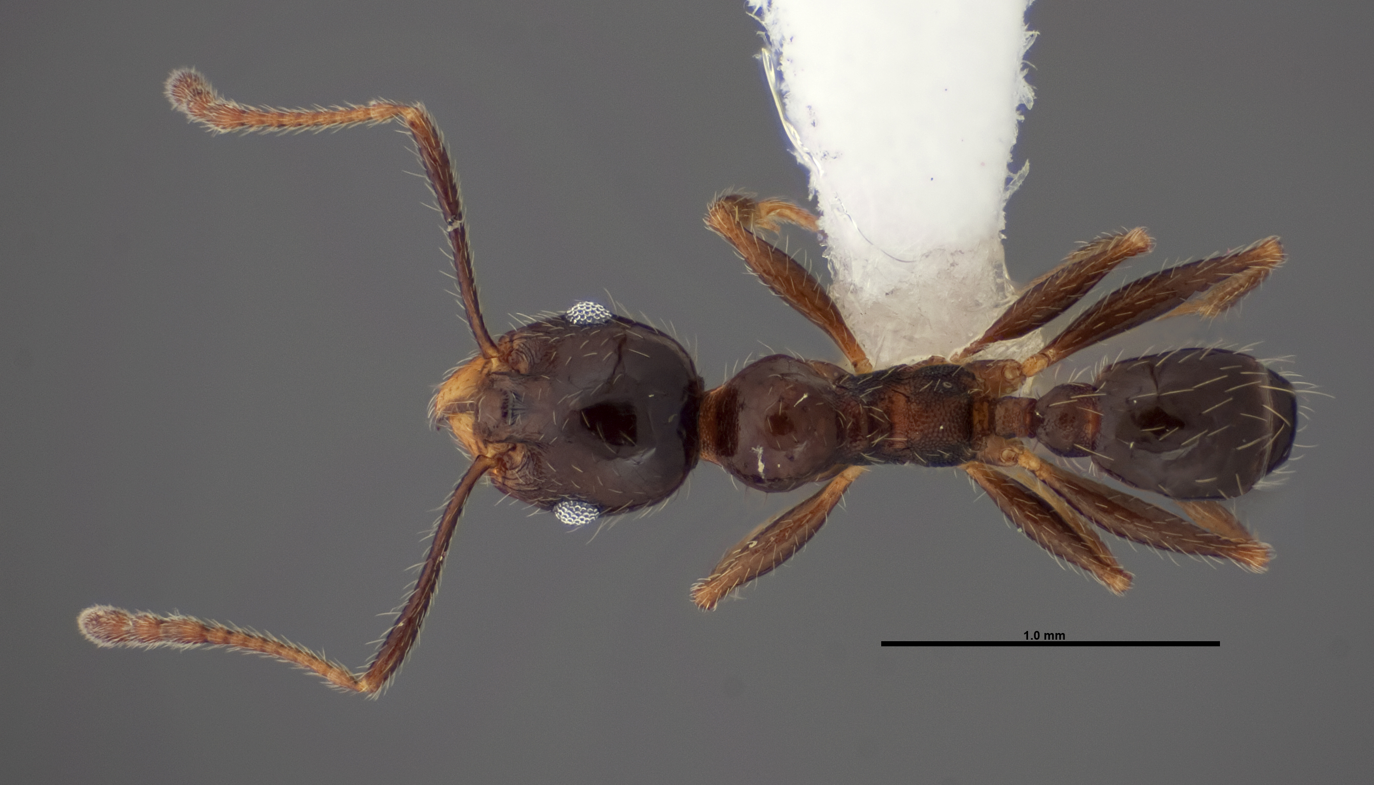 Image of Pheidole dentata
