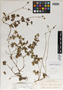 Geranium palmeri Rose ex Hanks & Small, Mexico, E. Palmer 146 bis, Isotype, F