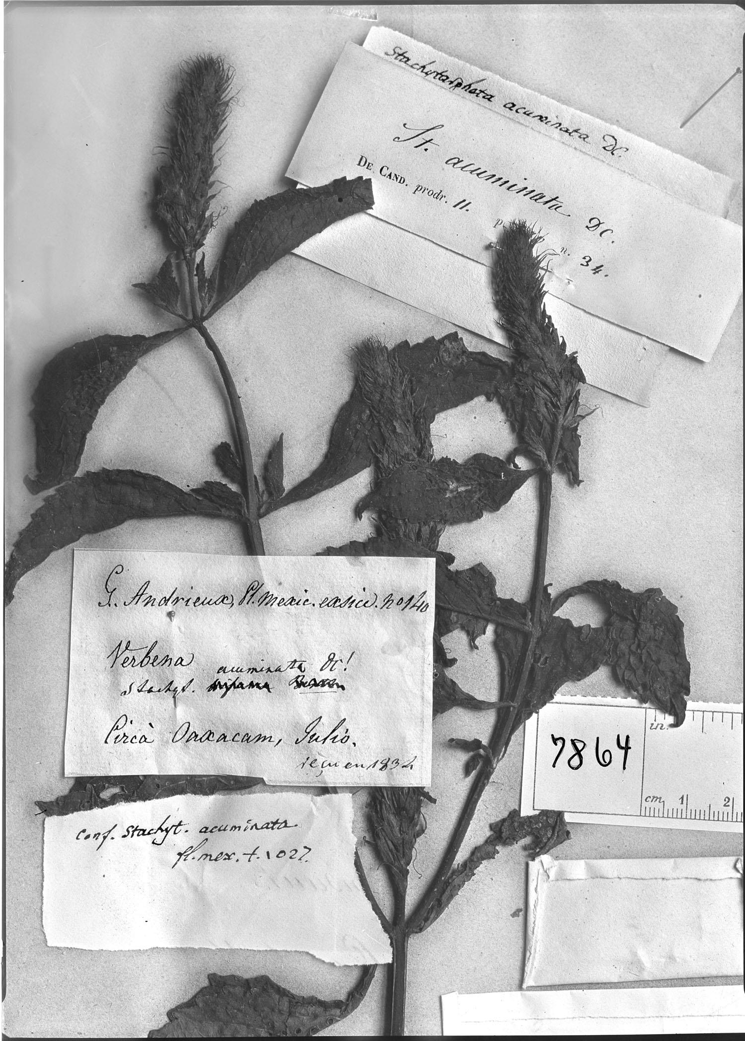 Stachytarpheta acuminata image