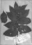 Field Museum photo negatives collection; Genève specimen of Helicteres proniflora Rich., FRENCH GUIANA, Type [status unknown], G-DC