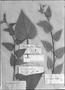Field Museum photo negatives collection; Genève specimen of Sida periplocifolia var. peruviana DC., PERU, J. Dombey, Type [status unknown], G-DC