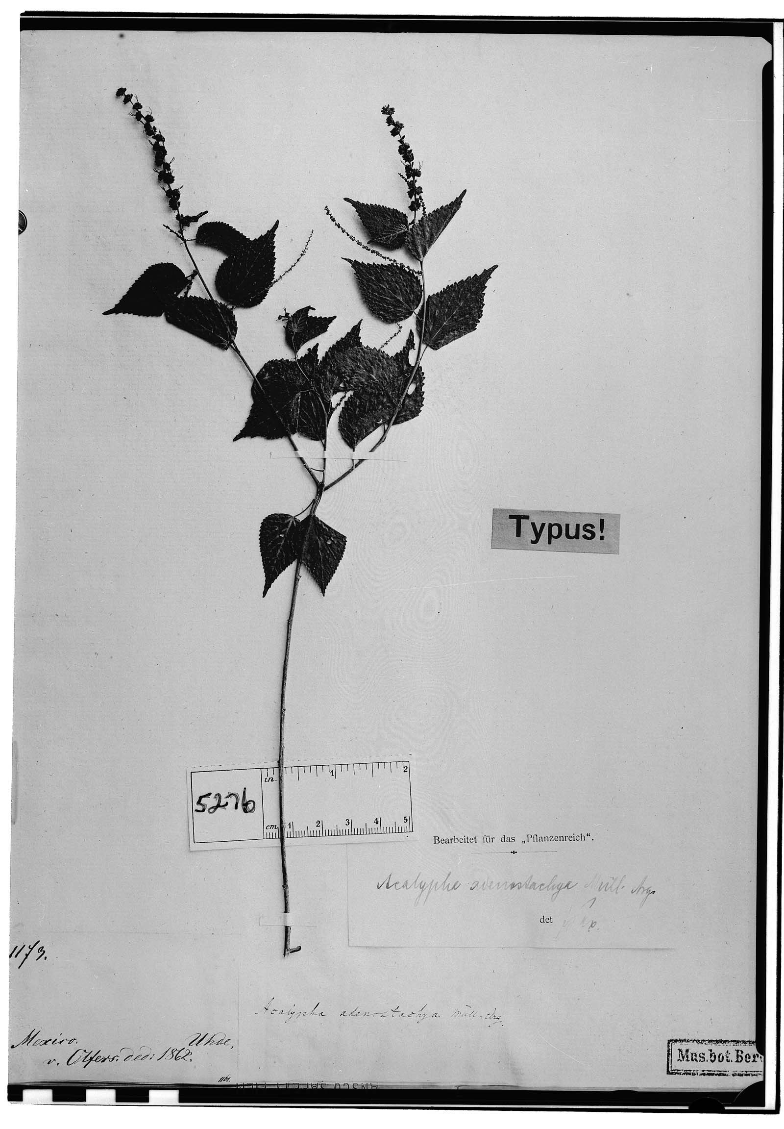 Acalypha adenostachya image