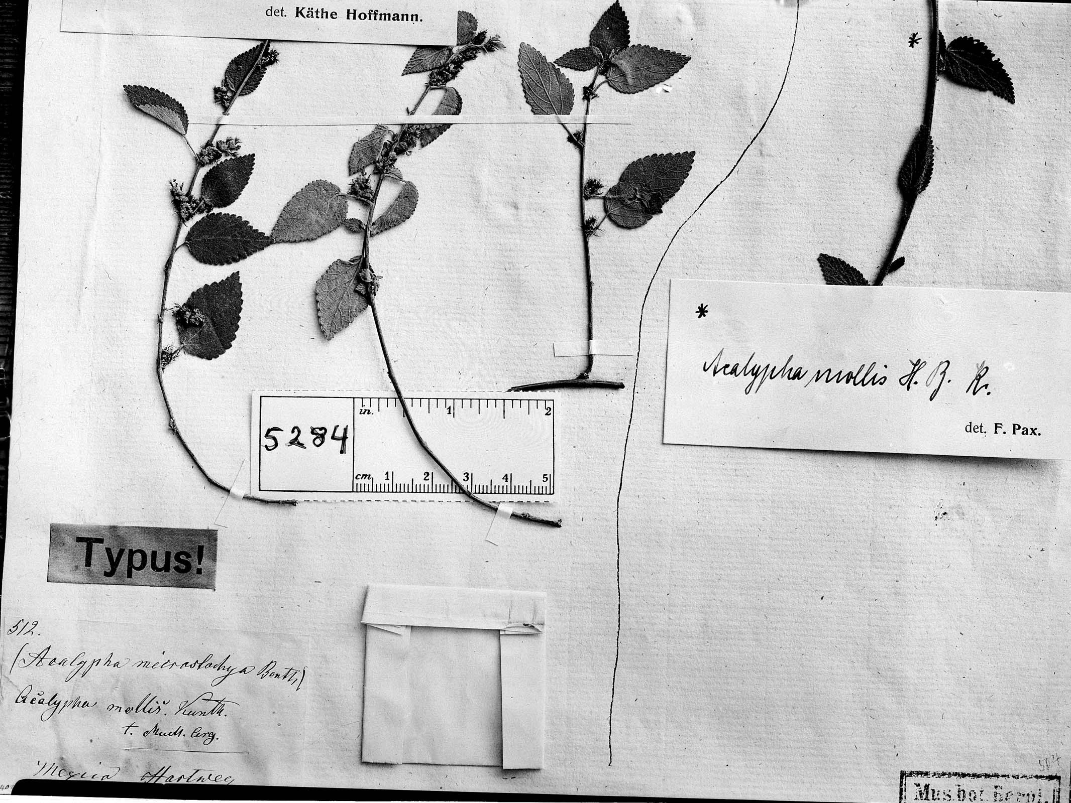 Acalypha cinerea image
