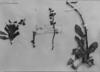Anisomeria fruticosa image