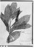 Phytolacca bogotensis image
