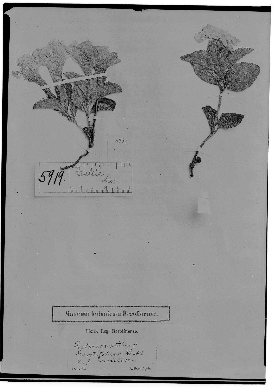 Ruellia dissitifolia image