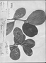 Field Museum photo negatives collection; Genève specimen of Ternstroemia brevipes DC., MEXICO, Type [status unknown], G-DC