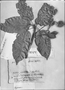 Field Museum photo negatives collection; Genève specimen of Sterculia ivira Pers., FRENCH GUIANA, Richard, G-DC