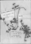 Bowlesia nodiflora image