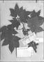 Field Museum photo negatives collection; Genève specimen of Sida ricinoides L'Hér., PERU, J. Dombey, Type [status unknown], G-DC