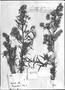 Baccharis paniculata image
