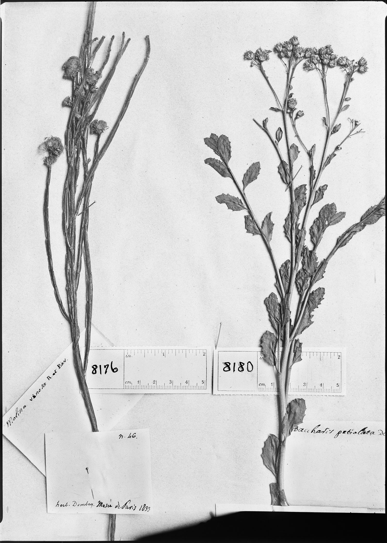 Baccharis petiolata image