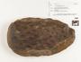 Decorticated lycopsid, Middle Pennsylvanian, Carbondale Fm, Francis Creek Shale Mbr, USA, IL, Mazon Creek Region