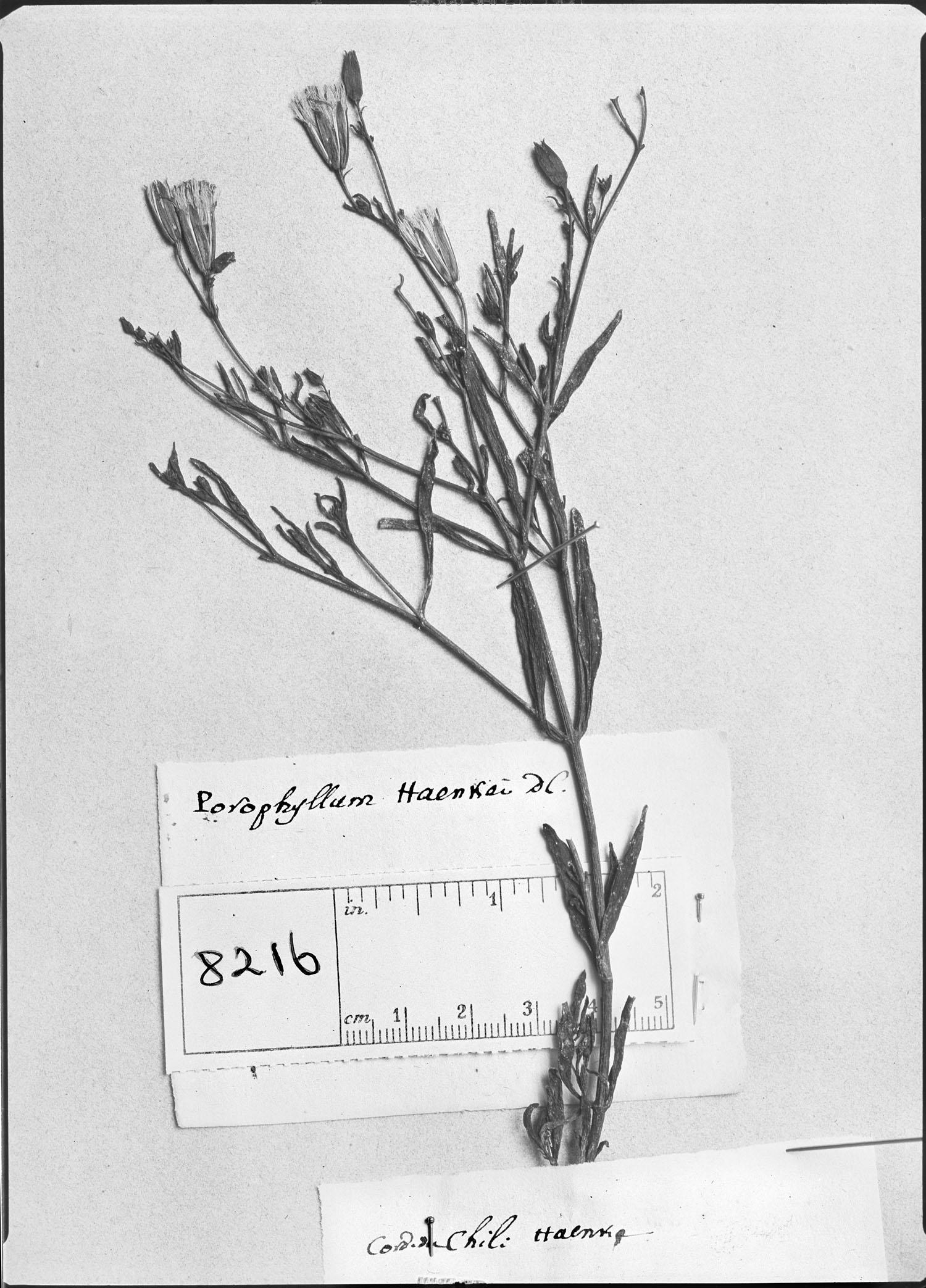 Porophyllum obscurum image
